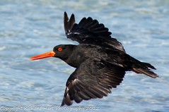 Sooty Oystercatcher (SillyOldBugger (in and out of internet range)) Tags: wild bird australian australia aves tasmania handheld oystercatcher avian bayoffires sootyoystercatcher haematopusfuliginosus wildbird minolta3004hsg sonya55 sonyalpha55 sonydslta55 wildbirdaustralia minolta300f4hsglens sony14apoteleconverter a55birdingrig bayoffiresconservationarea