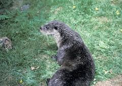 river otters, bungay otter sanctuary, Suffolk, UK 1993_07_08 003.jpg (maholyoak) Tags: uk unitedkingdom greatbritain england mammals river captive otters