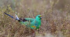 Mulga Parrot (Tobias Hayashi Photography) Tags: male bird parrot australia