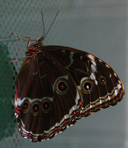 Brown and Red Butterfly