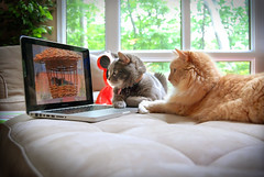 Feline Television (Digital Ice (Richard V)) Tags: two cats brown birds grey tv laptop watching