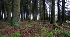 FENWORTHY FOREST - Copy (russell D7000 (D80)) Tags: trees forest moss floor evergreens trunks dartmoor fenworthy