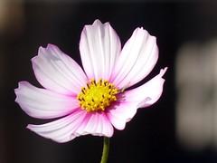Cosmea in macro (presbi) Tags: flowers flower macro niceshot fiori fiore cosmea doublyniceshot doubleniceshot tripleniceshot mygearandme artistoftheyearlevel3 artistoftheyearlevel4 musictomyeyeslevel1