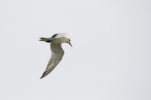 Whiskered Tern (I think)