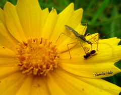 Bug (Hemiptera) Sucking preys fluids (Camilo Hdo) Tags: flower yellow bug insect eating flor amarilla preying enzymes chinche hemiptera