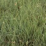 Habiturf (grasses native to SW) thumbnail