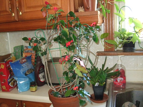 Euphorbia--10-12-11