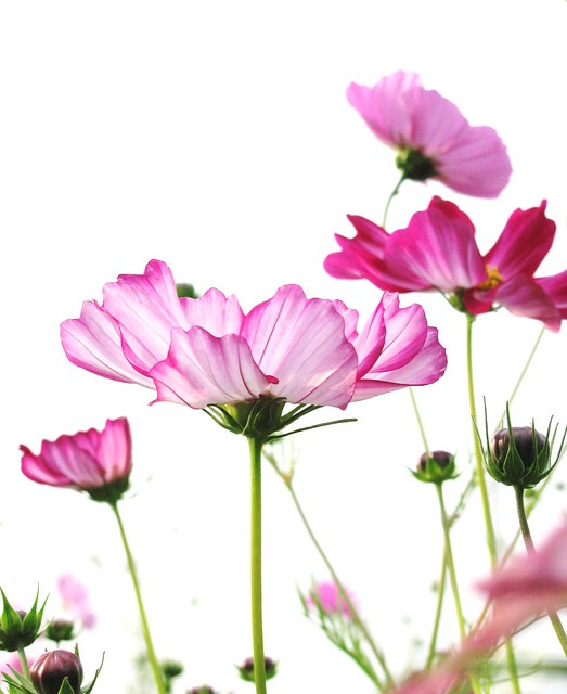 横顔*side view of pink cosmos.