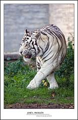 Tigre blanco (Pecelln) Tags: canon felinos felino tigre bigcats tigreblanco grandesfelinos pecellin grandesfelinosfiera
