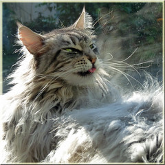 Floris: donot laugh I am just working on my fur but she has shot the wrong moment. (Cajaflez) Tags: portrait pet cute cat fur kat chat long ears whiskers mainecoon katze portret gatto huisdier washing kater lang floris oren snorharen wassen vacht tuffs topshots pluimen kissablekat bestofcats kittyschoice raskat catmoments 100commentgroup saariysqualitypictures mygearandme mygearandmepremium dblringexcellence musictomyeyeslevel1 flickrstruereflection1 medigree