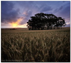 Three Minute Magic (Panorama Paul) Tags: sunset farm durbanville wheatfield nohdr sigmalenses nikfilters vertorama nikond300 wwwpaulbruinscoza paulbruinsphotography