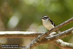 White-browed Robin - Poecilodryas superciliosa (puffinbytes) Tags: birds animals australia aves qld queensland cairns animalia passeriformes chordates chordata passerines petroicidae mountmolloy taxonomy:order=passeriformes taxonomy:class=aves poecilodryas poecilodryassuperciliosa taxonomy:kingdom=animalia taxonomy:phylum=chordata taxonomy:species=superciliosa taxonomy:family=petroicidae whitebrowedrobin spb:country=au spb:pty=w australopapuanrobins spb:lid=0047 spb:id=00mf taxonomy:genus=poecilodryas taxonomy:binomial=poecilodryassuperciliosa spb:species=poecilodryassuperciliosa taxonomy:common=whitebrowedrobin spb:pid=01pa
