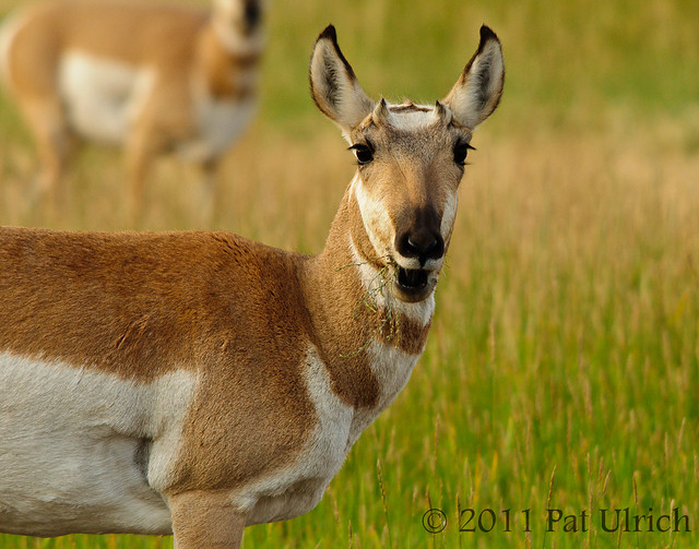 Pronghorn surprised to see me?