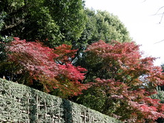 Japanese maple (モミジ) #6028 (Nemo's great uncle) Tags: geotagged tokyo flora japanesemaple 東京 紅葉 minatoku aoyamadori 港区 モミジ 青山通り motoakasaka 元赤坂二丁目 geo:lat=3567525 geo:lon=139722472