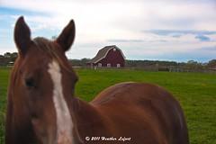 OnTheNorthFork_0059 (Heather Lefo) Tags: horses longisland winecountry longislandbeaches heatherlefort
