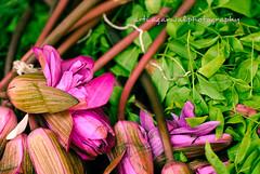 Lotus (artiagarwal) Tags: pink flowers india green nature beautiful flora lotus adobe macros mumbai lightroom dadar phool phoolgali prussianblu