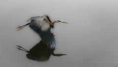 GBH blurred DSC0014copy (Gitart) Tags: bird heron wings flight foggy overcast blurred handheld softfocus greatblueheron gbh blinkagain