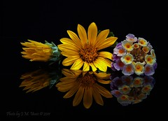Floral Still Life (uvaisjm - Al Seylani Photography) Tags: flowers stilllife reflection floral closeup composition flora gazania drybrush ministar