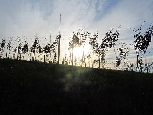 Sun set on the vines
