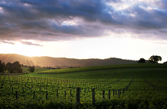 Last Light (Ranga 1) Tags: sunset clouds vines nikon niceshot wine australian australia victoria explore posts vinyard grapevines davidyoung dixonscreek flickraward afsnikkor50mm14g flickraward5