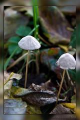 Autumn (Dimormar!) Tags: autumn nature mushrooms herfst paddestoelen hoogvliet zalmplaat