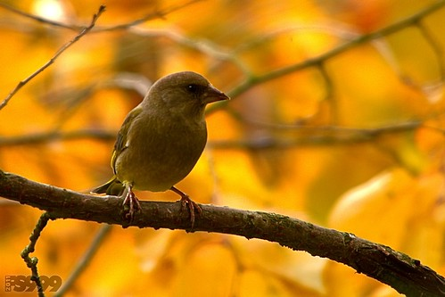 Bird on Gold by fs999