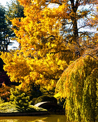 Autumn Colors, Brooklyn Botanic Garden, November 2011-13 (Diacritical) Tags: autumn trees leaves brooklyn iso800 fallcolors f80 bbg brooklynbotanicgarden 70mm 2011 2470mmf28 d700 nikond700 sec