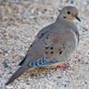 309/365 Dove (juliaclark42) Tags: dove day309 wildbird project365 365project nikond300