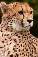 Paradise Wildlife Park: Cheetah (--CWH--) Tags: park mammal zoo wildlife teeth fast spots breeding cheetah endangered predator epping enclosure broxbourne d90 paradisewildlifepark spped chrishumphries
