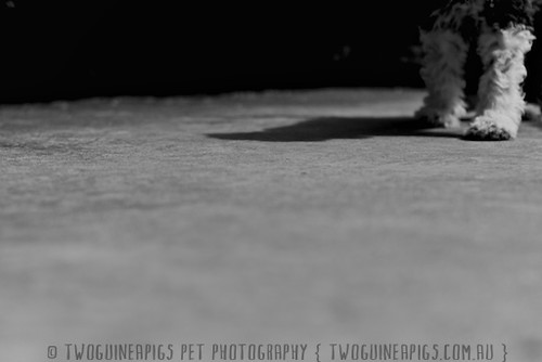 Footsteps puppy by twoguineapigs pet photography