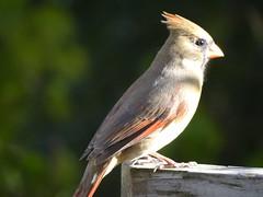 DSC01252 (rhombidec) Tags: female cardinal baltimore sonydschx100v