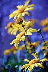 Yellow & Blue (RachaelMc) Tags: flowers blue flower floral beautiful daisies garden petals gorgeous lovely floralphotography rachaelmc rjmcdiarmid