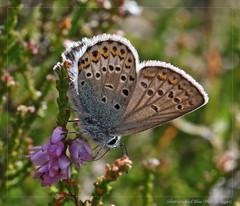 Silver-studded Blue (Plebejus argus). (od0man) Tags: macro butterfly insect geotagged lepidoptera andorra pyrenees lycaenidae plebejusargus silverstuddedblue ef100mmf28lisusmmacro geo:lat=4257843283749415 geo:lon=14842692685089105 wwwnkisinfoflickr0066z14184 wwwnkisinfoflickr0066z14185
