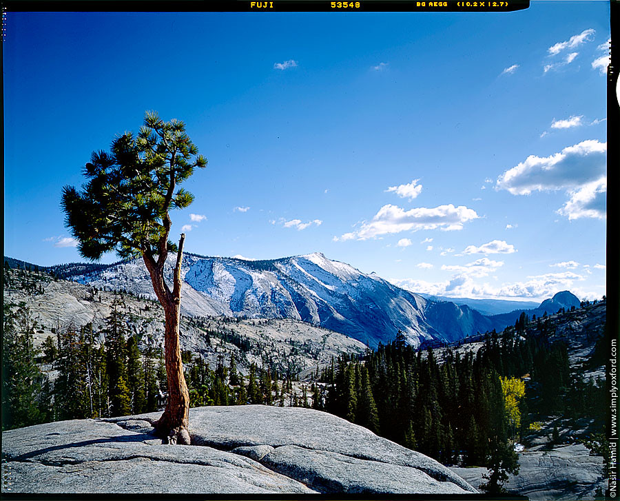 Lone tree in Yosemite National Park