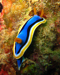 Chromodoris annae (Affers) Tags: underwater scuba diving nudibranch sipadan mabul chromodorisannae