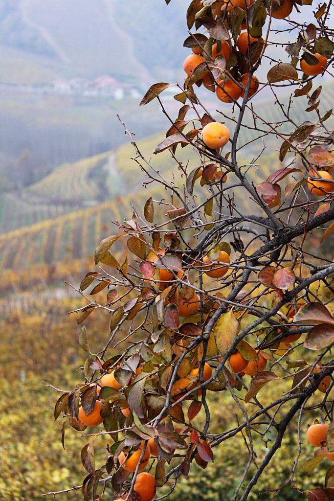 Persimmons & Vines