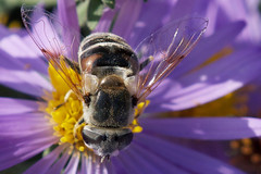 Another bee-mimic fly (jim_mcculloch) Tags: flies syrphidae diptera beemimics