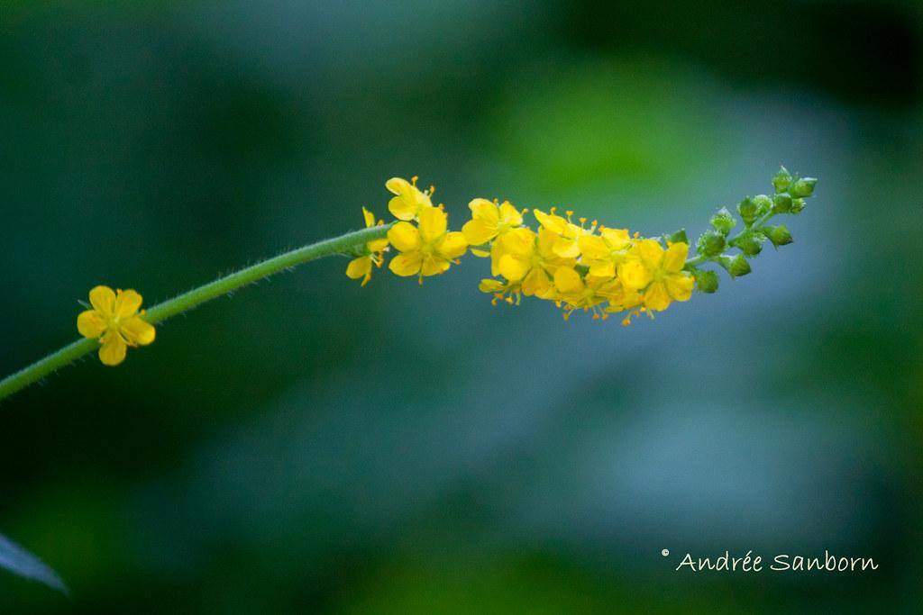 Agrimony (Agrimonia eupatoria)-1.jpg