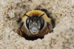 Looking for the Sun (Horst Beutler) Tags: pentax wildlife bee spree k5 biene aculeata wildbee hosenbiene wildbiene geo:country=germany taxonomy:family=apidae taxonomy:order=hymenoptera dasypodahirtipes pentaxart geo:region=europe taxonomy:binomial=dasypodahirtipes taxonomy:genus=dasypoda copyrighthorstbeutlerphotography