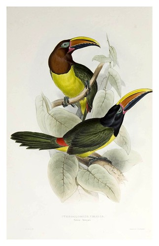008- Araçari verde-A monograph of the Ramphastidae or family of Toucans-1834- John Gould