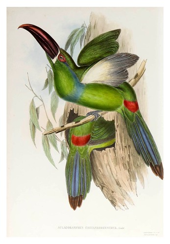 012- Tucan de pico castaño-Supplement of the Ramphastidae or family of Toucans Gould John-1855