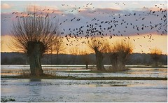 Willows and Geese at Sunrise (Horst Beutler) Tags: trees sunrise geese weide pentax wildlife willows k5 salix floodwater kopfweiden birdmigration beangoose anserfabalis pollardedwillows pentaxart saatgans wildwondersofeurope nordicgeese copyrighthorstbeutlerphotography