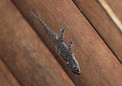 Asian House Gecko, Danum Valley, Borneo (Terathopius) Tags: borneo hemidactylusfrenatus canonef100400mmf4556lisusm commonhousegecko canoneos5dmkii