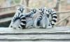 알락꼬리여우원숭이 (에버랜드 (withEverland)) Tags: 대한민국 에버랜드 겨울 사육사 동물원 용인 사자 놀이공원 알락꼬리여우원숭이 황금원숭이 코아티 검진 겨울나기