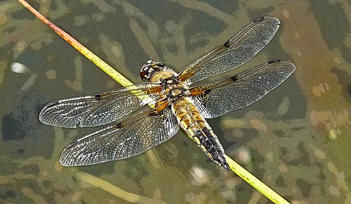 Dragonfly Bennetts Water Gardens Dorset Poster Edged