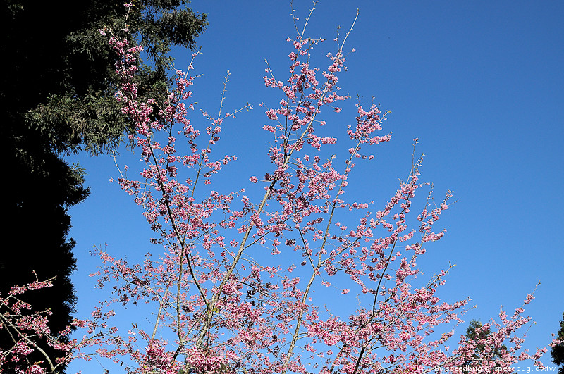 阿里山櫻花季61