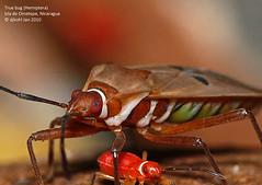 F1040146-Cotton stainer (Dysdercus bimaculatus) (DJHiker) Tags: macro insects nicaragua ometepe fz50 truebug raynox schildwants cottonstainer dysdercusbimaculatus