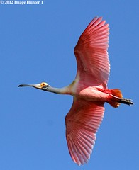 Roseate Spoonbill - Freshwater City, Louisiana (Image Hunter 1) Tags: pink blue red sky eye nature birds yellow flying wings louisiana flight beak feathers bayou swamp redeye marsh wingspan plumage roseatespoonbill wingspread freshwatercity canoneos7d birdslouisiana