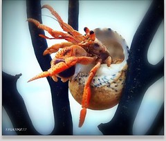 MY HOME IS MY CASTLE (ingridgottyoutube .(On and Off *`*) Tags: blue sea sky colour macro nature azul fauna photo live marino crustacea caracol cangrejo crustaceos invertebrados beachplaya artropodos wateranimals crustaseo phoyographyocean