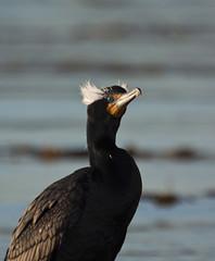 Double-crested Cormorant with Breeding Plumes (marlin harms) Tags: cormorant doublecrestedcormorant phalacrocoraxauritus